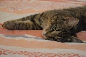 the cat lies on a striped bedspread