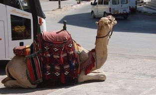 camel with a saddle in tunisia