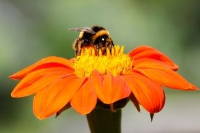fluffy bee on an orange camomile