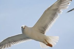 White seagull in the flight