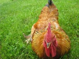 red Cock lying on green grass