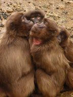 baboon monkeys