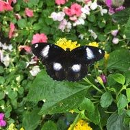 Black and white butterfly on a flower