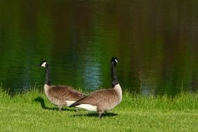 canadian geese walk on green grass by the river