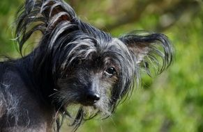 beautiful Chinese Crested Dog