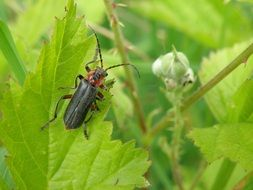 black beetle longhorn on a green leaf
