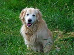 golden retriever on a green meadow