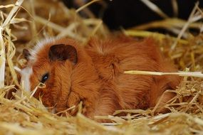 sweet red guinea pig