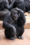 clever black chimpanzees