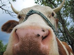 pink nose of a cow