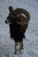 wild male mouflon in wintertime