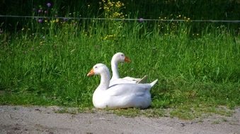 pair of white geese in green grass