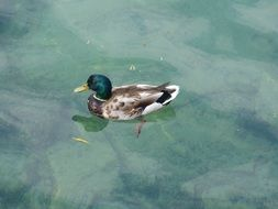 top view of a duck with bright plumage on the water