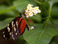 exotic butterfly on white flower
