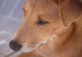 brown young dog closeup