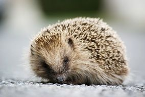 hedgehog on the road close up