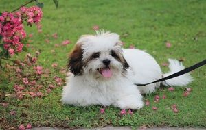 Cute lhasa apso puppy resting