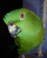 green Amazone Parrot with yellow eye
