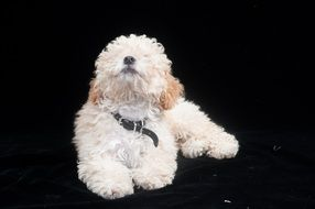 white poodle on a black background