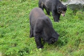 Spectacled black bears in nature