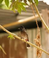 Picture of Bulbul Bird
