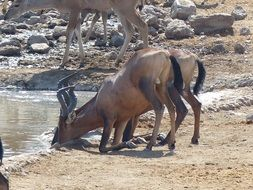 antelopes drink water from a stream, namibia, etosha