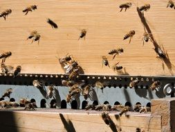Honey bees swarm