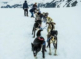 harnessed sled dogs in Alaska