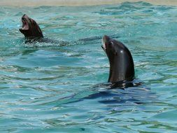 california sea lions in water