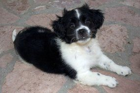 Adorable cute black and white puppy