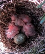 just hatched blackbirds in nest