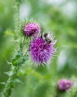 bee pollinates a thistle flower