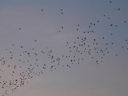 flock of migratory birds on a background of gray sky