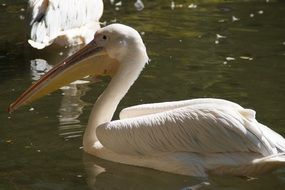 white pelican with a huge beak in the water