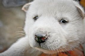 white puppy of korean dog