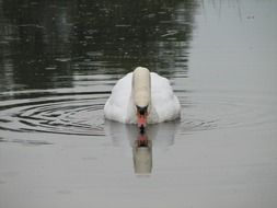swan and its reflection in the pond