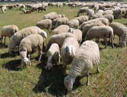 flock of white sheep on a pasture