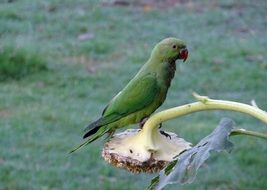 ring-necked parakeet in india