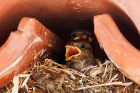 nest with small sparrows