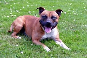 staffordshire terrier lies on green grass