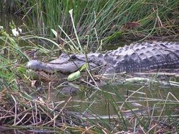 big dangerous alligator in the grass