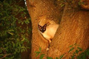 Siamese cat on a tree