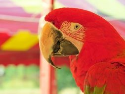 bright red parrot is an exotic bird