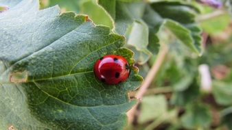 red lady bug in wildlife