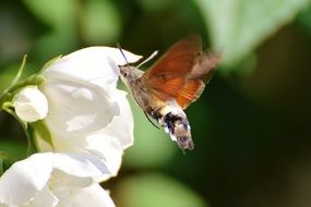 hummingbird hawk moth on a white bud