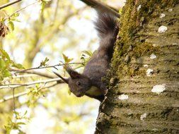 fluffy squirrel goes down a tree trunk