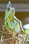 Chameleon green Animal closeup