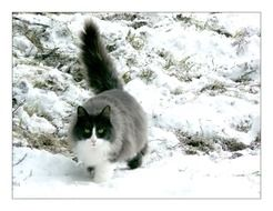 big domestic cat in the snow