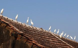 Little Egret Birds on a roof