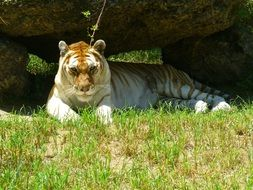 Golden Tiger lying on grass portrait